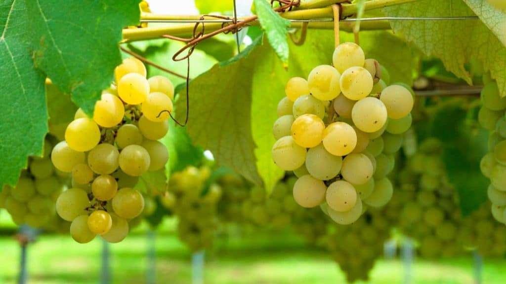 Semillon; the most popular Grape Varieties of Hunter Valley