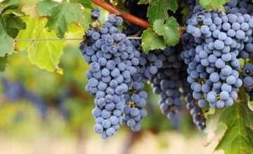 grape varieties in Hunter Valley